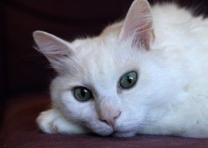 chat_blanc1